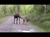 Лосиха нападает на авто Moose attack on car