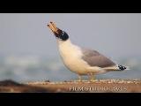 Pallass Gull. Черноголовый хохотун. Caspian Sea.