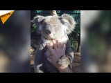Keep Calm and Be a Wolverine: This Koala Knows How to Relax