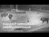 Драка волков с зубрами в Беловежской пуще