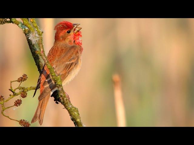 Common Rosefinch / Carpodacus erythrinus