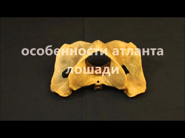 первый шейный позвонок атлант домашних животных