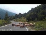 Бараны атакуют пастуха | Бараны на дороге
