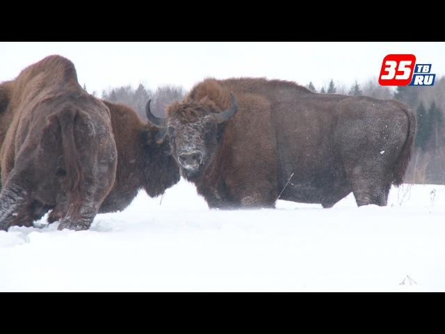 В Вологодской области живет самая северная популяция зубров