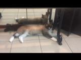 Ляля сиамка ❤️ самая преданная кошка