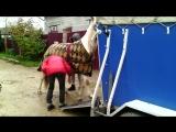 Загружаем Пуму в коневоз. Соревы в Серпухове. октябрь 2016