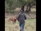 Мужик четко защитил собаку от кенгуру