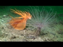 Гігантський голозяберний молюск атакує анемону