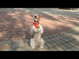 Фокстерьер Тэффи 50 команд Clever fox terrier Taffy50 amazing dog tricks