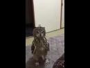 веселая сова