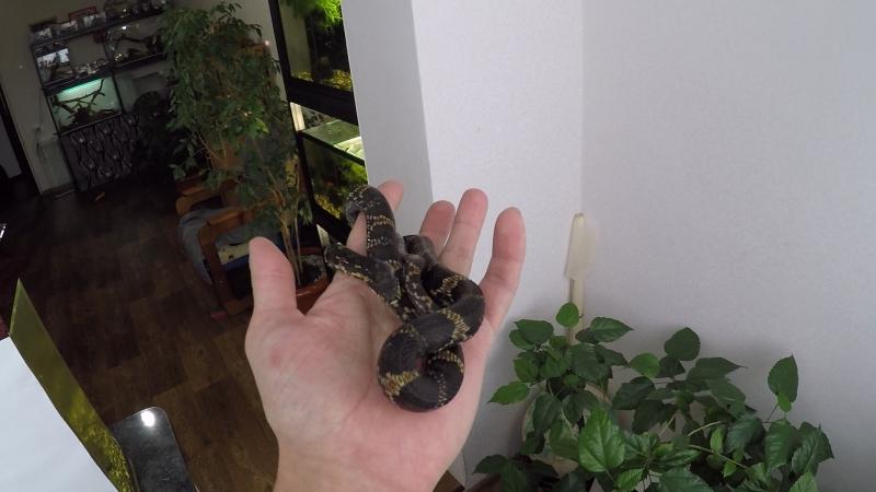 Амурский полоз ( Elaphe schrenkii )♂ Растёт не по дням ,а по часам =)