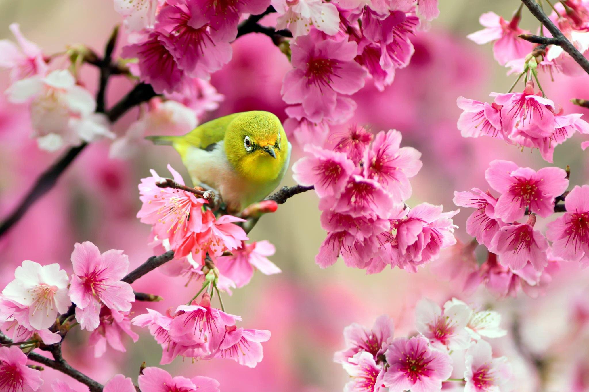 птица на ветке сакуры
