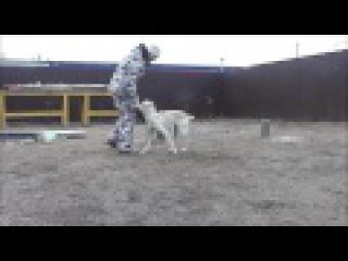 Дрессировка собак в Новосибирске. Тренировка Дар