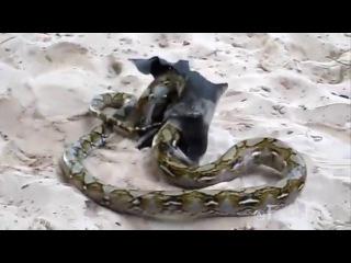 Epic fight! Insane moment a giant bat wins battle over python