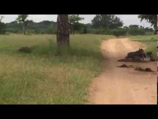 Леопард охотится на бородавочника (Leopard chases warthog)
