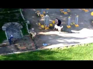 Драка кангалов (Two kangals fight)