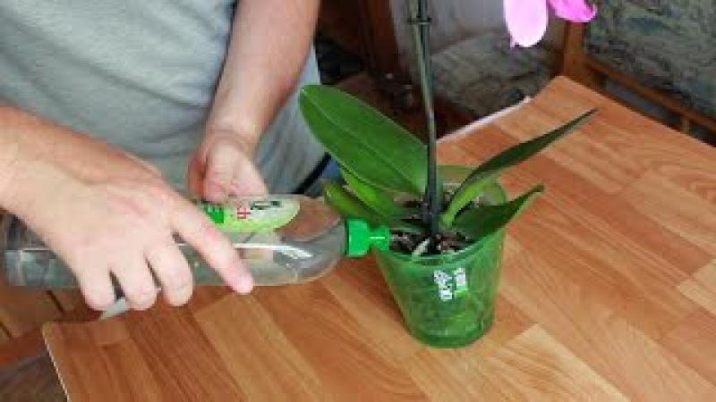 Как правильно поливать фаленопсис. Домашняя орхидея - бабочка. Горшок Орхидея