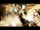 В поисках людоеда Серия 3 «Голодные тигры» Tiger At Large.