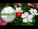 Катарантус ➡ Посадка и уход 🌺 Выращиваем катарантус с hitsadTV