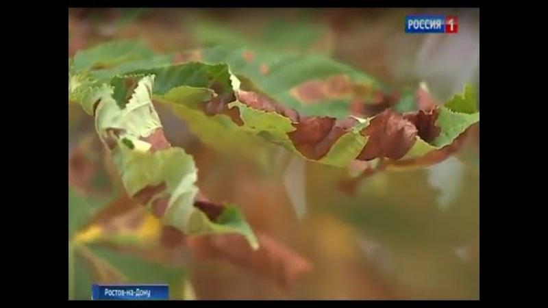 Насекомое-вредитель уничтожает каштановые деревья в Ростове