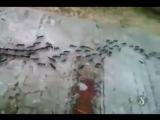 Муравьи тащат червя