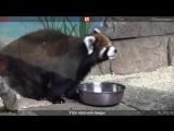 Утро красной панды. Прямая трансляция