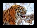 Охота на Амурского тигра.Контрольный выстрел.