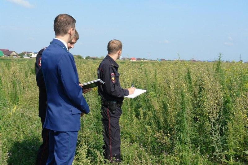 В Зеленчукском и Хабезском районах полицейскими уничтожено более 5 гектар дикорастущей конопли
