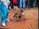 Собачьи бои 18+  Алабай из Стафф