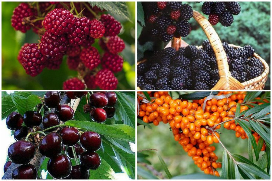 Краткая характеристика плодово-ягодных деревьев и кустарников для засухоустойчивого сада - таблица