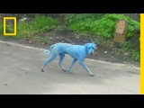 Blue Dogs Spotted in IndiaWhat's Causing It National Geographic