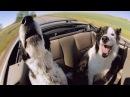 Очень умная и смешная порода собак Border Collie