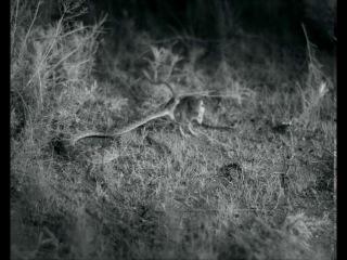 High speed video of kangaroo rat avoiding rattlesnake strike