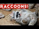 Funniest Raccoon Video Compilation of 2017 Funny Pet Videos