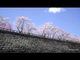 Japanese Sakura Cherry blossoms Hirosaki