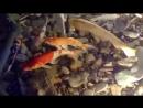 Гигантские карпы КОИ. Огромная рыба