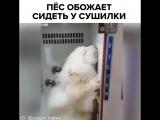 Пёс обожает сидеть у сушилки