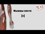 Мышцы кисти - детальный обзор 3д