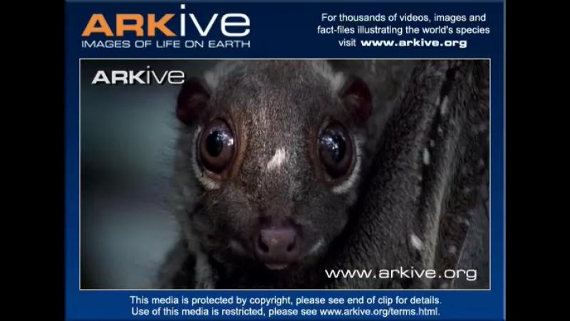 Малайский шерстокрыл Sunda Flying Lemur (Galeopterus variegatus)