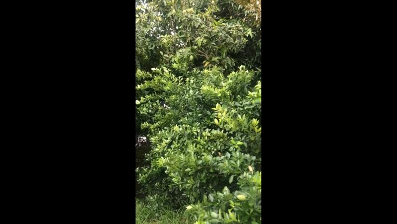 Фруктовый сад-Меконг дельта-Вьетнам