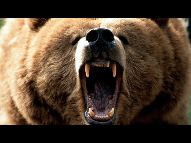 Медведь / L'ours(1988) Потрясающий фильм