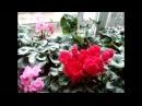 ЦИКЛАМЕНЫ Сусlamen Подготовка к шапочному цветению