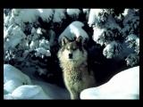 Аскер Седой - Волчья доля