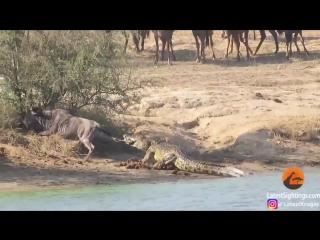 Два бегемота отбили антилопу гну у крокодила