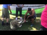 Как убивают барана в Монголии