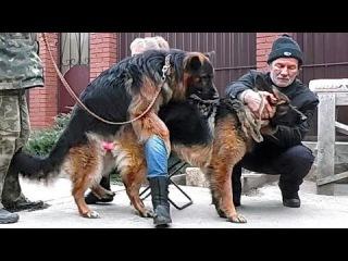 Ждём Щенков. Вязка Лады и Дагира. Mating dogs. Lada and Dagir. Одесса.