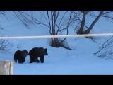 Бабка прогнала медведей.