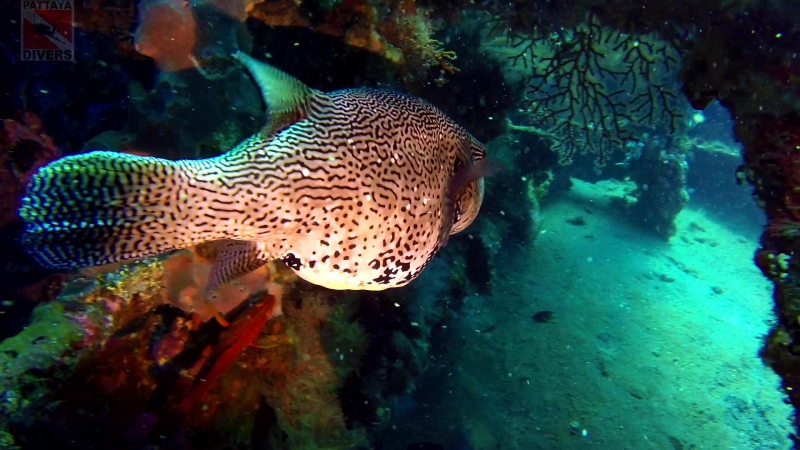 Скалозуб ядовитая рыба Pufferfish on Liberty Wreck