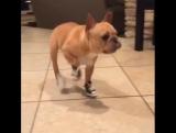 Пёс в обуви