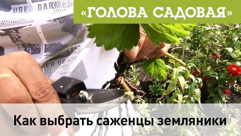 Голова садовая - Как правильно выбрать саженцы земляники